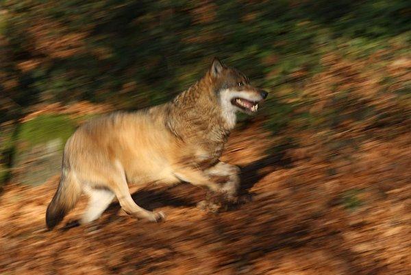 Newsletter 2020-2 Wolf als Titelbild